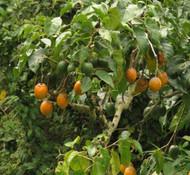 Cyphomandra sibundoyensis - Forest Tamarillo