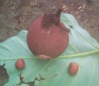 Pentadesma butyracea - Butter Tree