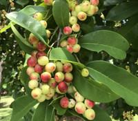 Antidesma dallachyanum - Herbert River Cherry