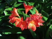 Clivia robusta - Swamp Clivia