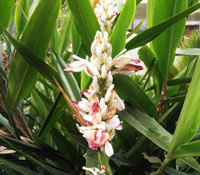 Alpinia galanga - Thai Galangal