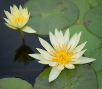 Nelumbo nucifera - White Sacred Lotus Flower