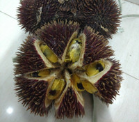 Durio dulcis - Red Durian