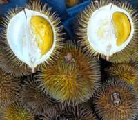 Durio oxleyanus - Durian Isu