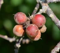 Pouteria alnifolia - Pouteria alnifolia