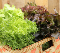 Italian Frilly Leaf Lettuce Mix
