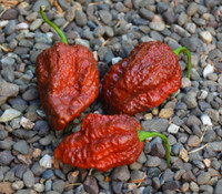 Apocalypse Scorpion Chocolate Pepper
