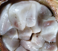 Cola ficifolia - Wild Cola Nut