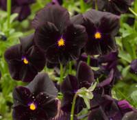 Viola x wittrockiana - Pansy, Halloween II