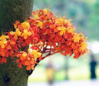 Saraca indica - Ashok Tree