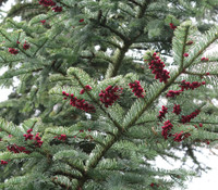 Abies procera - Noble Fir