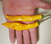 Aji Orange Drop Pepper
