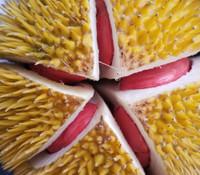 Durio x - Tenom Beauty Durian
