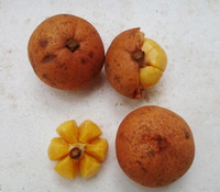 Baccaurea edulis - Mawoi