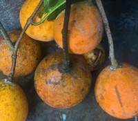 Landolphia heudelotii - Guinea Gum Vine