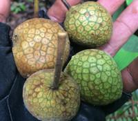 Artocarpus kemando - Pudau