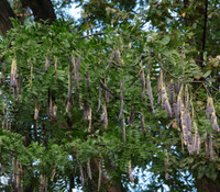 Gleditsia sinensis - Chinese Honey Locust