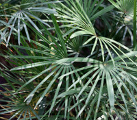 Rhapis multifida - Finger Palm