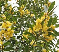 Laurus azorica - Azores Laurel