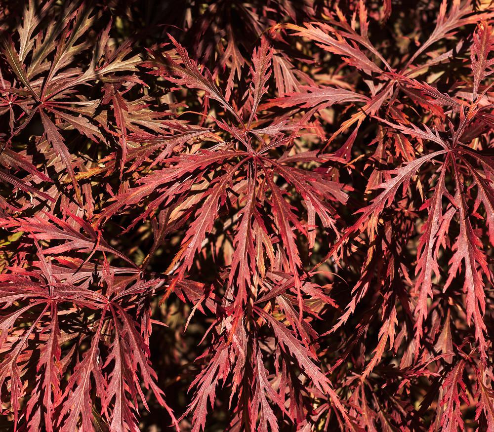 Acer Palmatum Var Dissectum Atropurpureum Laceleaf Japanese Maple