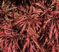Acer palmatum var. Dissectum atropurpureum - Laceleaf Japanese Maple