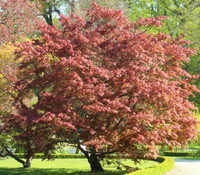 Acer palmatum Ogon sarasa - Calico Cloth Japanese Maple