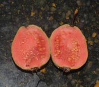 Psidium guajava - Patillo Guava