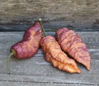 Capsicum chinense - Pink Tiger x Peach Bhut Jolokia Pepper