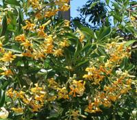 Hymenosporum flavum - Native Frangipani
