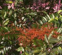 Eurycoma longifolia - Malaysian Ginseng
