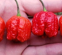Capsicum chinense - Dragon's Breath Pepper