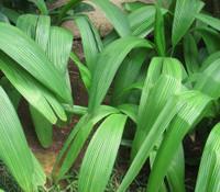 Curculigo latifolia - Lemba