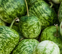 Apple Gourd, Small