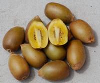Actinidia chinensis - Golden Kiwi