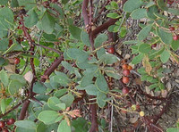 Arctostaphylos glauca - Big Berry Manzanita