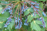 Mahonia bealei - Oregon Grape