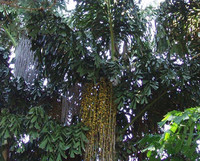 Caryota urens - Wine Palm