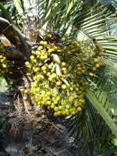 Trithrinax acanthocoma - Brazilian Needle Palm