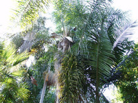Archontophoenix cunninghamiana - King Palm