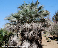 Brahea armata - Mexican Blue Palm