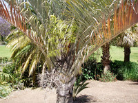 Neodypsis decaryi - Triangle Palm