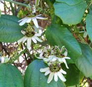 Passiflora helleri -