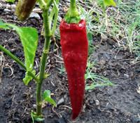 Guajillo Pepper