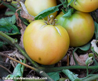 Longkeeper Tomato