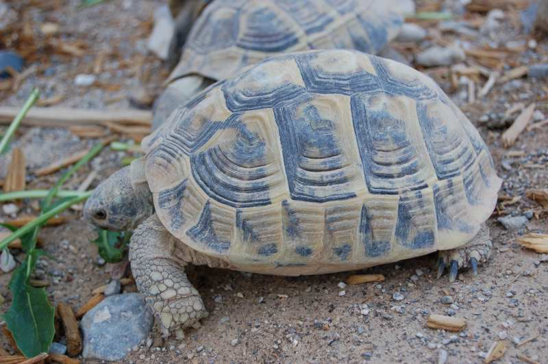 Hermanns tortoise for sale