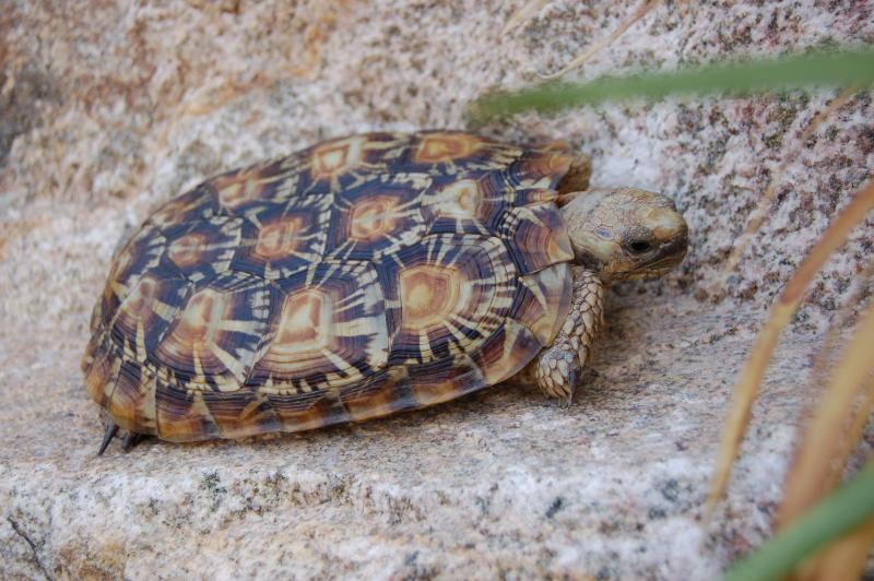 Pancake tortoise breeder