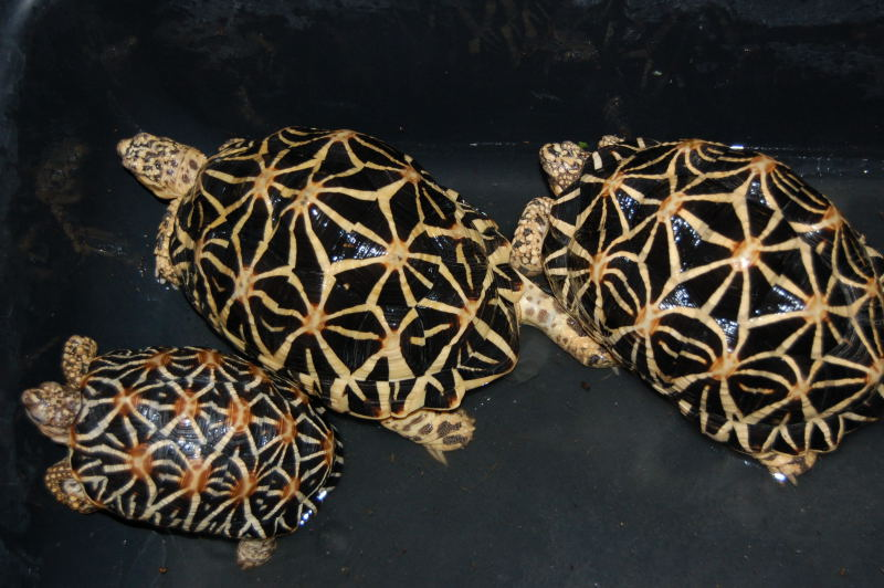 Star Tortoise Breeder