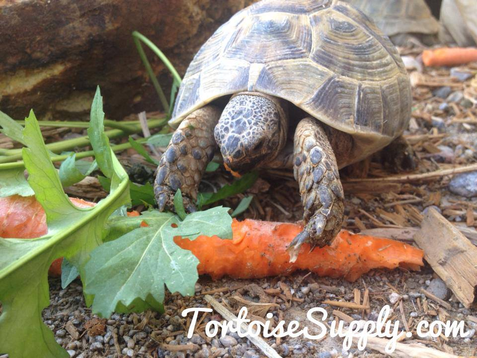 Greek tortoises for sale online