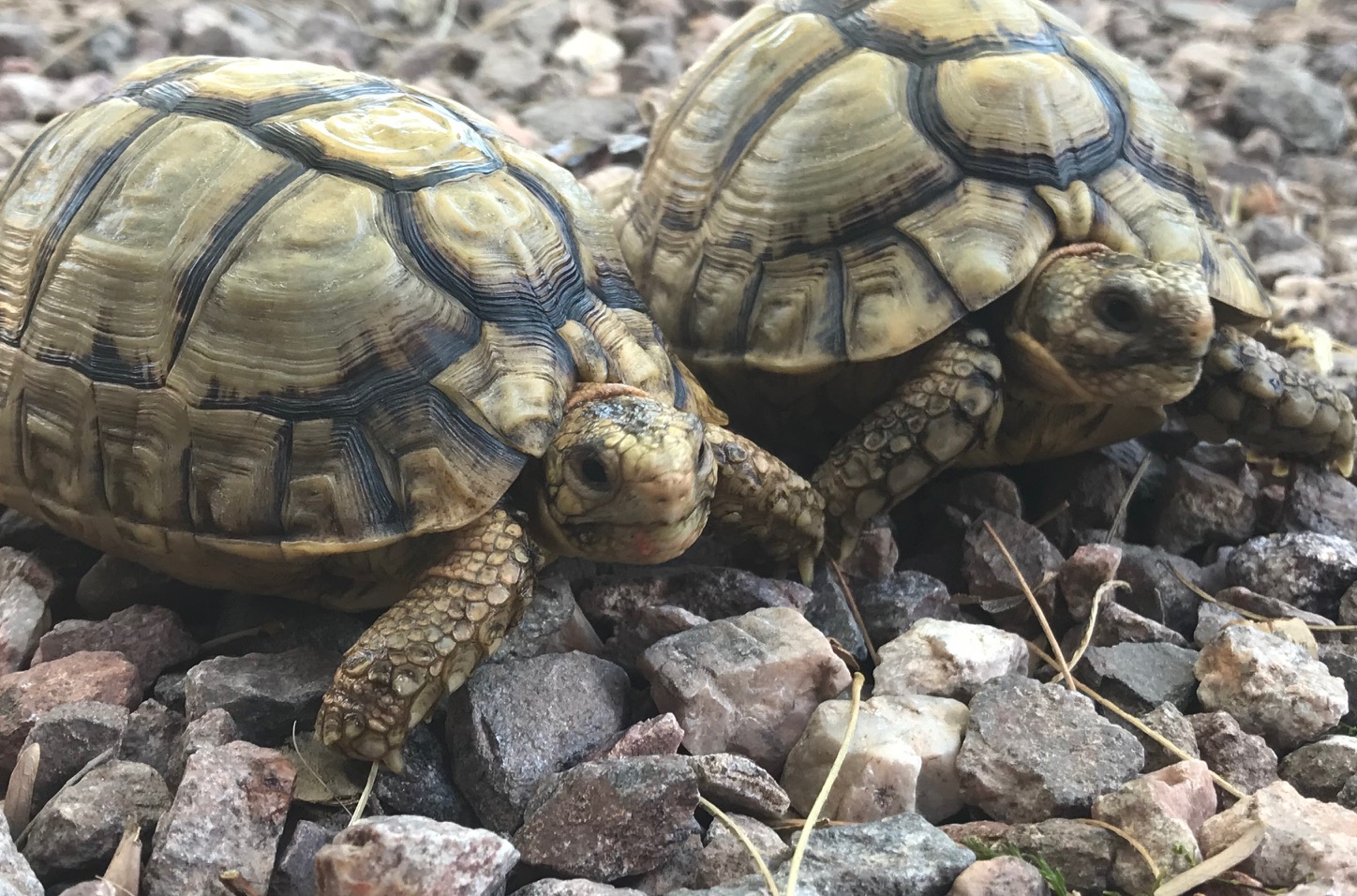 Egyptian tortoise breeder | Egyptian tortoises for sale | Small Tortoises for sale