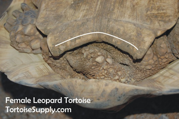 how do you tell the sex of a tortoise